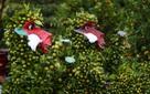 Quất khỉ giá 7 triệu đồng nổi bật chợ Tết Sài Gòn