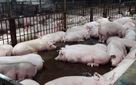Sẽ có test thử nhanh thuốc an thần trên thịt lợn
