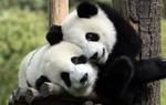 Trung Quốc sử dụng gấu trúc như một chính sách ngoại giao như thế nào?