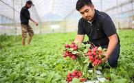 Khá lên nhờ nuôi trồng hàng độc: Chàng trai Đà Lạt và đặc sản baby