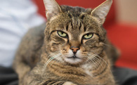 Mèo đang giết mọi loài động vật ở Úc, cơ quan chức năng không biết làm gì để ngăn cản