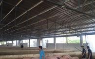 'Thủ phủ' nuôi heo cả nước tạm dừng dự án chăn nuôi heo