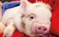 Người chăn nuôi gặp khó vì lợn ế không bán được, giá rớt thấp nhất 10 năm