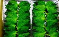 Doanh nghiệp may mặc xuất khẩu lá tía tô sang Nhật giá 700 đồng/1 lá, thu 2,5 tỷ đồng/1 ha và lời giải cho bài toán nông sản Việt