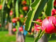 Vứt ngay thuốc bảo quản nông sản Trung Quốc đi, 9x Việt đã sáng chế ra chế phẩm sinh học từ quả thanh long và vỏ tôm cua