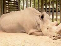 Thế nào là tuyệt chủng? Chú tê giác trắng cuối cùng trên Trái đất sẽ giúp bạn hiểu điều đó