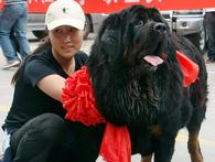 Hàng ngàn con chó ngao Tây Tạng thả rông và sự suy thoái của một thú vui vương quyền ở Trung Quốc