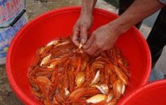 Giá cá chép còn 80.000-100.000 đồng/kg cận Tết ông Táo