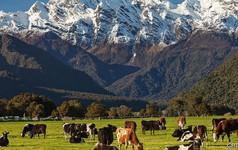 Cái giá đắt đỏ cho ngành chăn nuôi bò sữa ở New Zealand
