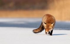 Chuyện bữa ăn của con cáo và bài học kinh điển trong kinh doanh: Đừng cố chiếm thị trường khi bạn biết mình không giữ được nó