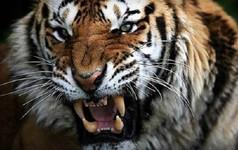 Sư tử quyết đấu với hổ, ai sẽ thắng cuộc?