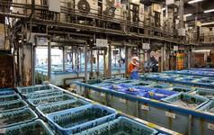 Kỷ nguyên mới cho chợ cá lâu đời nhất Nhật Bản, nơi xử lý 1.600 tấn hải sản mỗi ngày