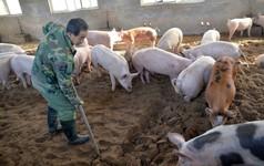 Alibaba nâng công nghệ lên tầm cao mới: Dùng trí tuệ nhân tạo để tăng tốc độ phát hiện lợn mang thai lên 7 lần