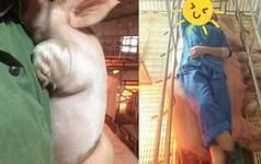 """Tâm sự của nữ sinh thú y không biết đến không khí ngày Tết bởi đang """"miệt mài"""" chăm lợn ăn, lợn đẻ"""