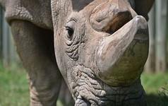 Sudan, con tê giác trắng đực cuối cùng trên trái đất đã chết