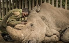 Những hình ảnh xúc động về cuộc đời của Sudan, con tê giác trắng đực cuối cùng trên trái đất