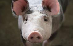 Alibaba ký thỏa thuận phát triển AI cho ngành chăn nuôi lợn, trị giá hàng chục triệu USD