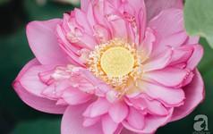 Trà dệt hương sen - thứ trà ủ cả ngàn bông sen Hồ Tây đầy tinh tế của Hà Nội