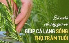 Ngôi làng có tới 300 người sống 100 tuổi nhờ ăn lá gia vị này: Bạn rất nên trồng một cây