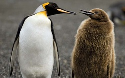 Hít phải quá nhiều... phân chim cánh cụt, giới khoa học Nam Cực đang có phản ứng rất lạ và lý do phía sau khiến ai cũng phải bật cười