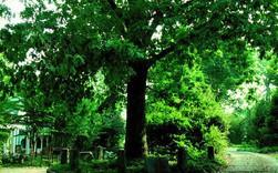 Ở Mỹ có một cây sồi