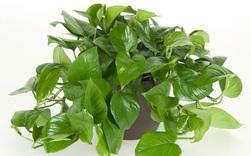 Những loại cây nhiều người ưa trồng trong nhà nhưng lại chứa nhiều chất cực độc