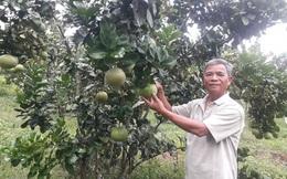 Nông dân Đà Nẵng thu hàng trăm triệu từ cây bưởi