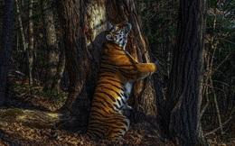 Bức ảnh hổ ôm cây giành giải thưởng nhiếp ảnh danh giá, tác giả tiết lộ quá trình tác nghiệp càng thấy đáng khâm phục hơn