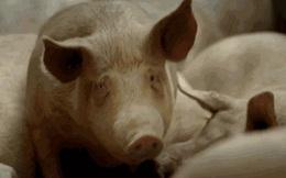 Ý nghĩa thực sự của việc nuôi lợn đối với khoa học