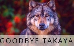 """Cái chết cô độc của Takaya: Con sói """"dị"""" nhất thế giới và """"lời tiên tri"""" cảnh tỉnh loài người"""