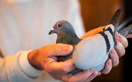 Một con chim bồ câu giá gần 2 triệu USD - Vén màn bí ẩn phía sau thú chơi xa xỉ của giới siêu giàu Trung Quốc