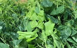 Làm giàu từ loại rau có mùi khai, giá lên đến 70.000 đồng/bó