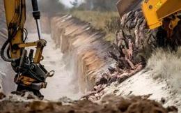 Đan Mạch chôn sống 17 triệu con chồn, giờ lại phải đào lên do nguy cơ ô nhiễm