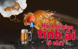 Hễ bị cự tuyệt ái ân, ruồi giấm đực lại đâm đầu vào bia rượu