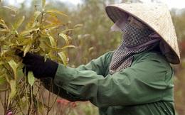"""Hà Nội rét """"đỉnh điểm"""", dân làng đào Nhật Tân lại tất bật vào mùa tuốt lá chuẩn bị đón Tết: """"Thời tiết ủng hộ, nhưng được ăn hay không vẫn phải do trời"""""""