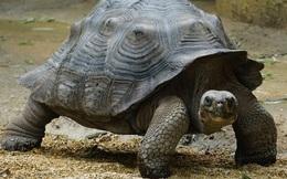 1001 thắc mắc: Bí quyết gì giúp rùa sống lâu, vì sao rùa thở được bằng mông?