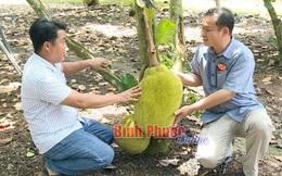 Thu tiền tỷ mỗi năm từ trồng mít Thái lá bàng