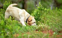 Các nhà nghiên cứu Anh huấn luyện chó để phát hiện dấu hiệu của người nhiễm Covid-19