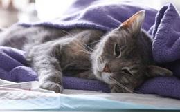 Hong Kong xác định 1 con mèo dương tính với virus SARS-CoV-2