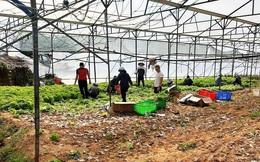 Nhiều nông dân ở Đà Lạt ngậm ngùi đổ bỏ rau do đứt chuỗi liên kết