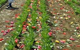 Thành phố Nhật Bản cày nát 800.000 bông tulip vì du khách đi ngắm hoa bất chấp lệnh phong tỏa