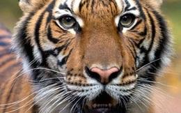 Phát hiện hàng loạt hổ, sư tử trong vườn thú New York dương tính SARS-CoV-2
