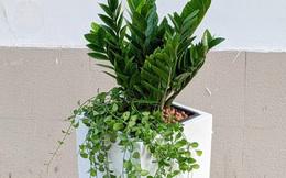 """4 giống """"cây sức khỏe"""" trồng trong nhà, văn phòng: Đẹp nhà, dưỡng sinh, bình an, hạnh phúc"""