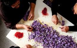 """Cận cảnh quá trình thu hoạch saffron - thứ gia vị đắt nhất thế giới được mệnh danh """"vàng đỏ"""" có giá hàng tỷ đồng/kg, từng được Nữ hoàng Ai Cập dùng để dưỡng nhan"""