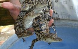 Cá sấu rớt giá, chỉ còn 50.000 đồng/kg