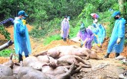 Cảnh báo nóng: Dịch tả lợn châu Phi tái phát trên diện rộng
