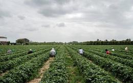 Thất nghiệp vì dịch Covid-19, người Italy bỏ thành thị về quê làm nông
