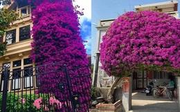 Những 'ngôi nhà hoa giấy' phiên bản đời thực ở Việt Nam đẹp rụng rời, nhìn xong chỉ muốn trồng ngay vài gốc