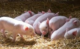 Dự kiến nhập 10.000 con lợn ông bà, cụ kỵ trong năm nay
