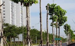 Hàng loạt cây xanh chết khô trên đường 'nghìn tỷ' ở Hà Nội